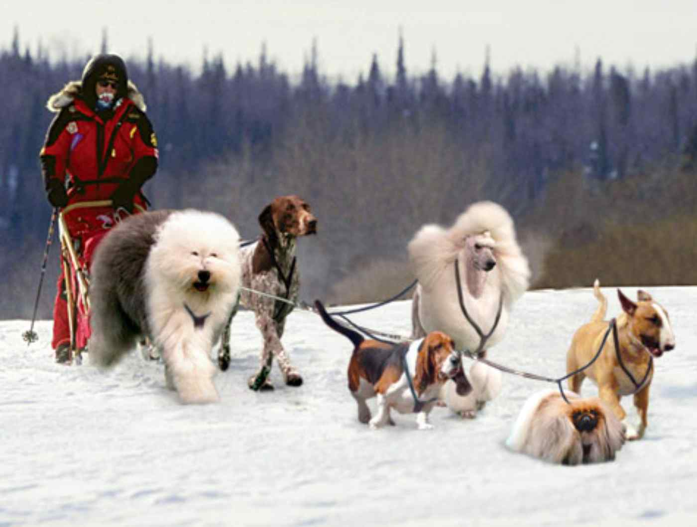 Facts about dog sled teams